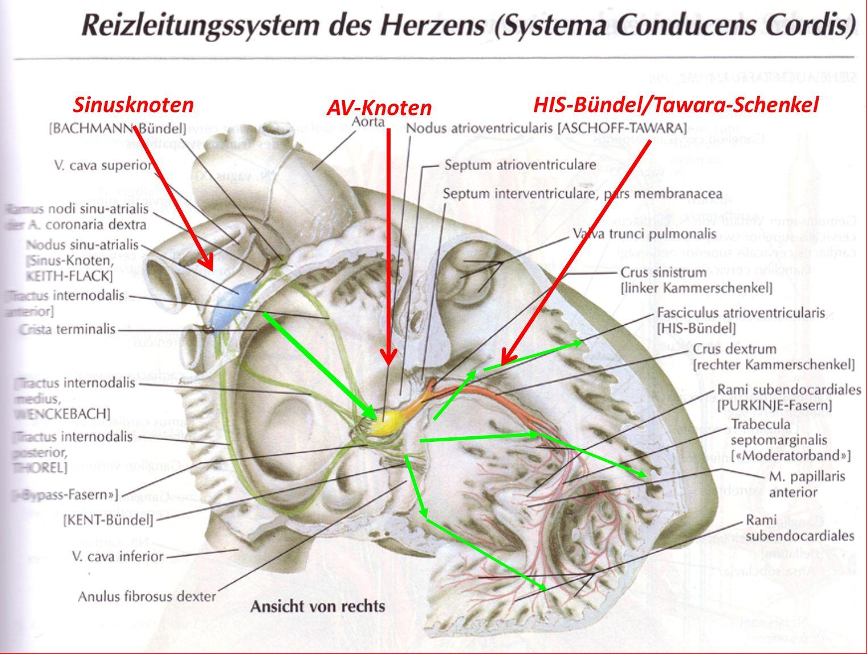 Charmant Septum Des Herzens Ideen - Anatomie Von Menschlichen ...